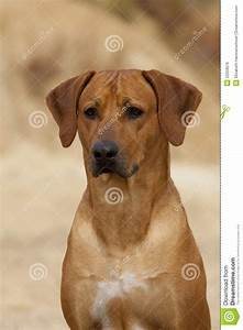 Rhodesian Ridgeback Male Portrait Royalty Free Stock Image ...