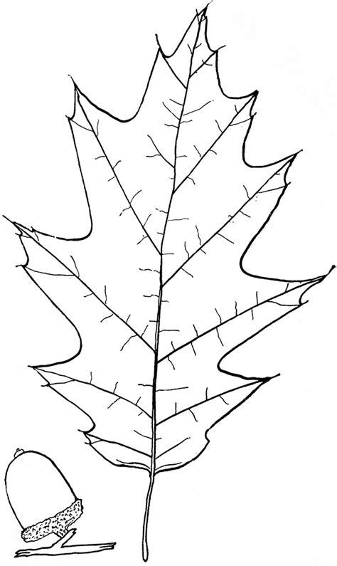 genus quercus  oak clipart
