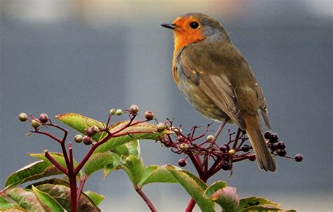 09.07.2015 robin bird #548681 presented at this page with awesome top resolution of 3872x2592px. Wallpaper bird, beak, tail, Robin images for desktop, section животные - download