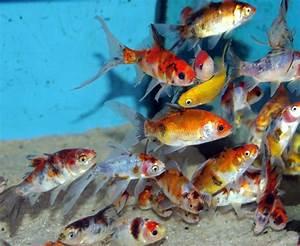 Poisson D Eau Froide Pour Petit Aquarium  microrasbora