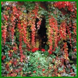 Efeu Schnell Wachsende Sorte by Wilder Wein Ist Eine Schnell Wachsende Kletterpflanze