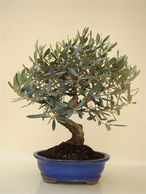 Ficus Ginseng Pflege Tipps by Ficus Microcarpa Ginseng Pflege Ficus Ginseng Pflege Gie