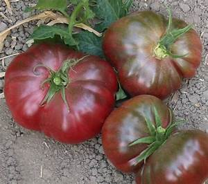 Purple Calabash Organic Tomato Seeds | TomatoFest