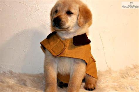 goldador puppy  sale  worcester central ma