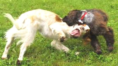 funny dogs play fighting growling  loving youtube
