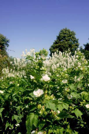 Der Weisse Garten (sissinghurst) Gartenreisen