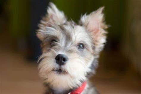 breed information miniature schnauzer thriftyfun