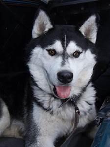 siberian, husky, dog, wallpapers, hd, , , , desktop, and, mobile, backgrounds
