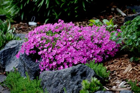 creeping flowers creeping phlox full sun perennials pinterest