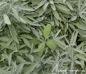 La Sauge Plante : la sauge et ses vertus 100 plantes ma passion ~ Melissatoandfro.com Idées de Décoration
