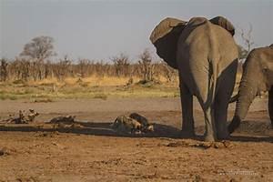 Wild dogs vs. elephants - Africa Geographic
