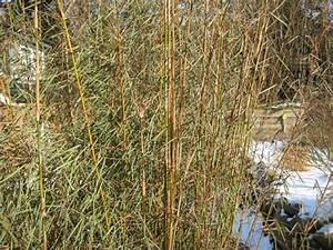 Bambus Im Winter : bambus vom limhorn ~ Frokenaadalensverden.com Haus und Dekorationen