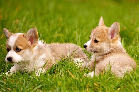 Corgi  Ee  Puppies Ee    Daniel Stockman Flickr