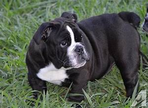 AKC Black Seal Females English Bulldog Pups for Sale in ...