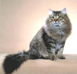 siberian cats for top cat breeds siberian cat names