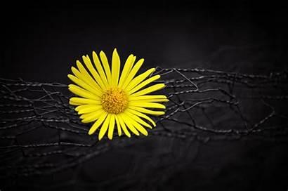 Yellow Flower Wallpapers Dark Flowers Colour Nero