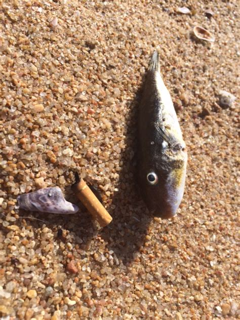 puffer fish suspected  death  ballito dogs north