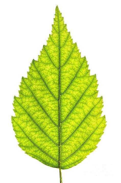 green tree leaf photograph by elisseeva