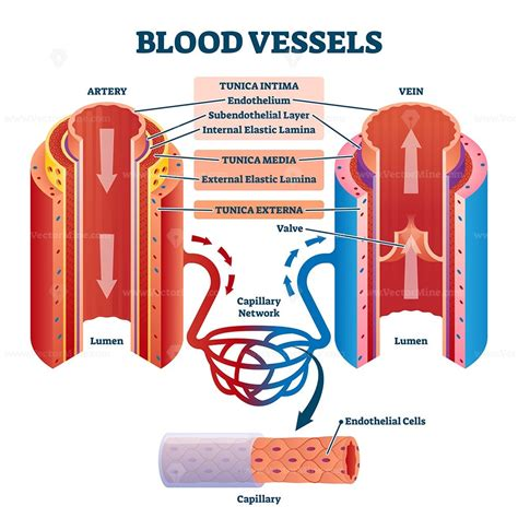 Veins (in blue) are the blood vessels that return blood to the heart. Blood vessels with artery and vein internal structure vector illustration - VectorMine