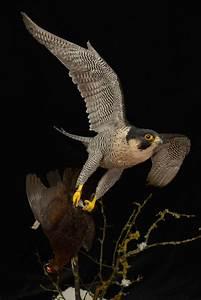 Peregrine Falcon Catching Grouse   UK Bird Small Mammal ...  Falcon