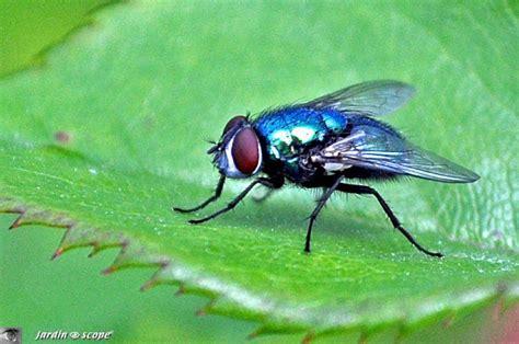une des mouches qui pondent leurs œufs dans notre nourriture le jardinoscope toute la vie