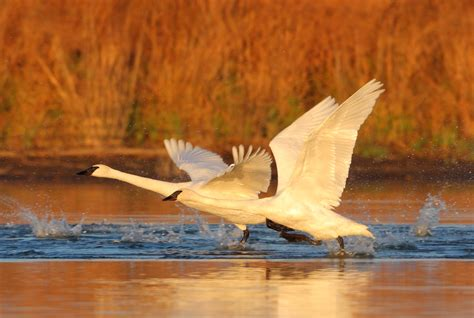 trumpeter swans louis flock area wingspan brown st sanctuary numbers record bird pounds weigh seven feet adult than
