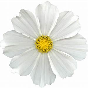 white flower png | ... Cuz I Can ♥♥♥♥♥♥♥♥: FREE WHITE DIGI ...