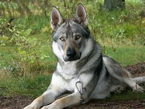 Should You Adopt a German Shepherd Wolf Mix? Read Before ...