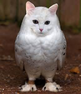 cat and owl meowls are cat heads photoshopped onto owl bodies