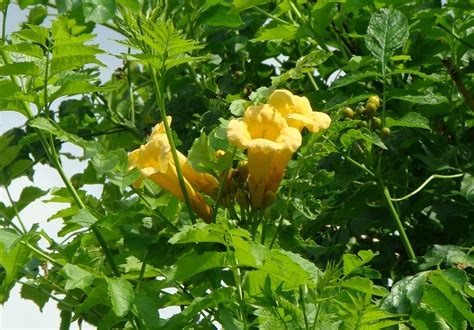 trumpet flower august 2010 shenandoah valley flowers part 2