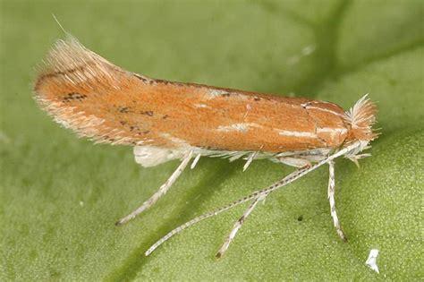 http://www.lepiforum.de/lepiwiki.pl?Phyllonorycter_Corylifoliella