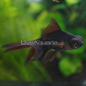 Black Moor Goldfish | TANK'D | Pinterest