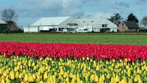 tulips bed farm hd potato blossoms barn background a field of flowering potato plants in front of a scenic bright