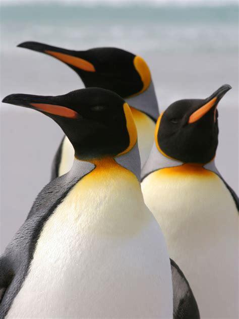 Penguin Facts Kidspressmagazinecom