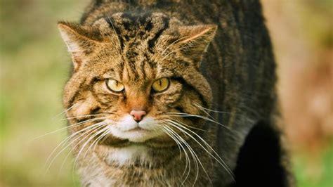 scottish wildcats  flourish south  border