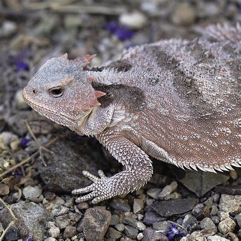 short horned lizard national geographic