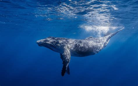 Best Hd Whale Photo by Blue Whale Wallpapers Images Photos Pictures Backgrounds