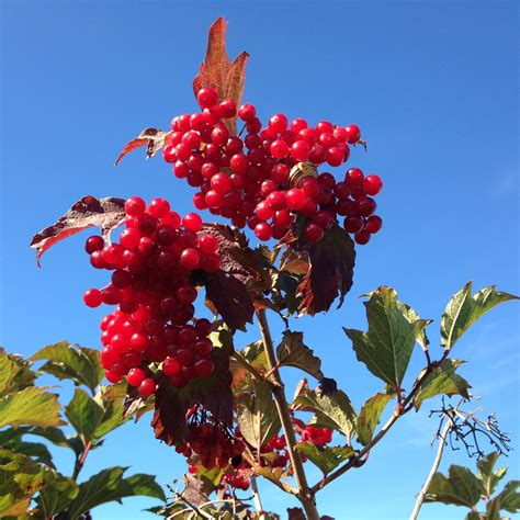 Rote Beeren Strauch Herbst by Strauch Mit Roten Beeren Im Herbst Fabulous Straucher Mit