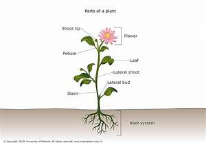 Parts Of A Plant  U2014 Science Learning Hub