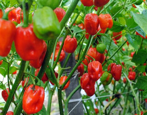 heirloom seeds aji dulce spice pepper 0 2 g southern exposure seed