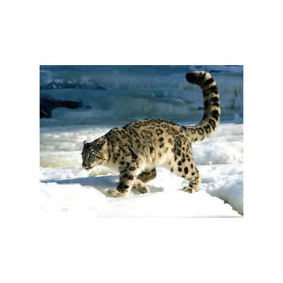 An Animal A Day: The Snow Leopard