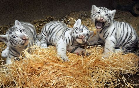 white bengal tiger cubspet  gallery tiger pet