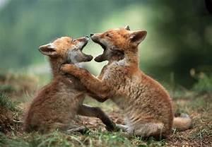 Fox Kits Playing - Fox Photo (24576994) - Fanpop