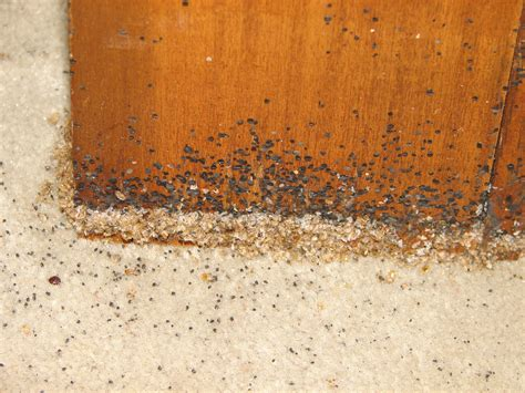 bed bugs fecal spotting wooden furniture bed bugs
