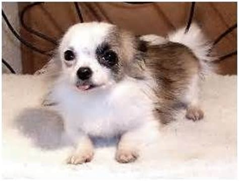 Do Haired Chiweenies Shed by 17 Best Images About Hair Chihuahua Dogs On