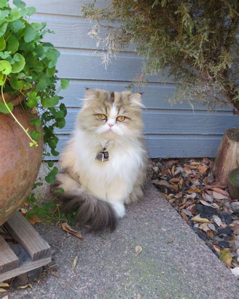 K Litter Update And Photos …  Mythicbells Persian Cats