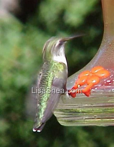recipe for humming bird food 7000 recipes