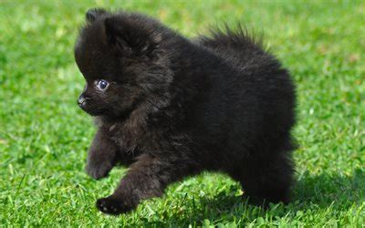 wallpapers black spitz puppy black pomeranian