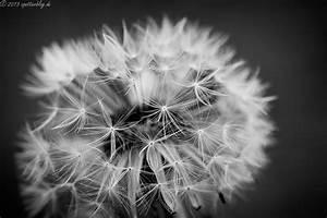 Bild Pusteblume Schwarz Weiß : natur pur ~ Bigdaddyawards.com Haus und Dekorationen