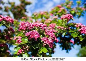 Rosa Blüten Baum : rosa bl ten wei dorn baum rosa wei dorn spring stockfoto bilder und foto clipart ~ Yasmunasinghe.com Haus und Dekorationen
